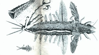 Mayflies - Mayfly - Ephemeri Vita (4)
