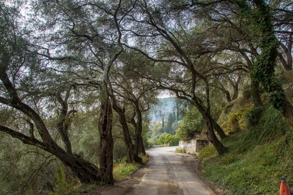 Olive groves in Corfu
