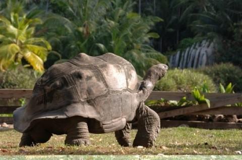 отдых на Сейшельских островах, остров Силуэт - гигантские сто килограммовые черепахи, есть и больше