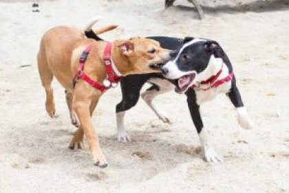 social anxiety dogs fighting in sand