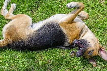 cbd-for-dog-having-seizures