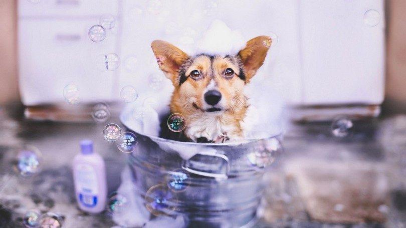 Dog-bathing-in-bucket-dog-allergies