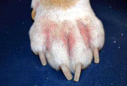 Dogs-Itchy-Paws-allergies-red