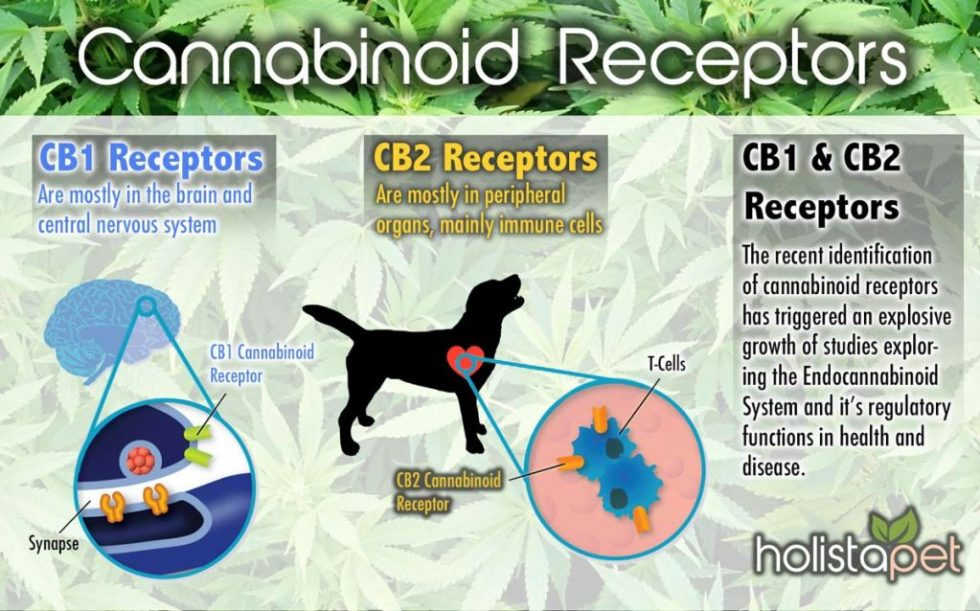 cannabinoid-receptors-in-dogs-explained