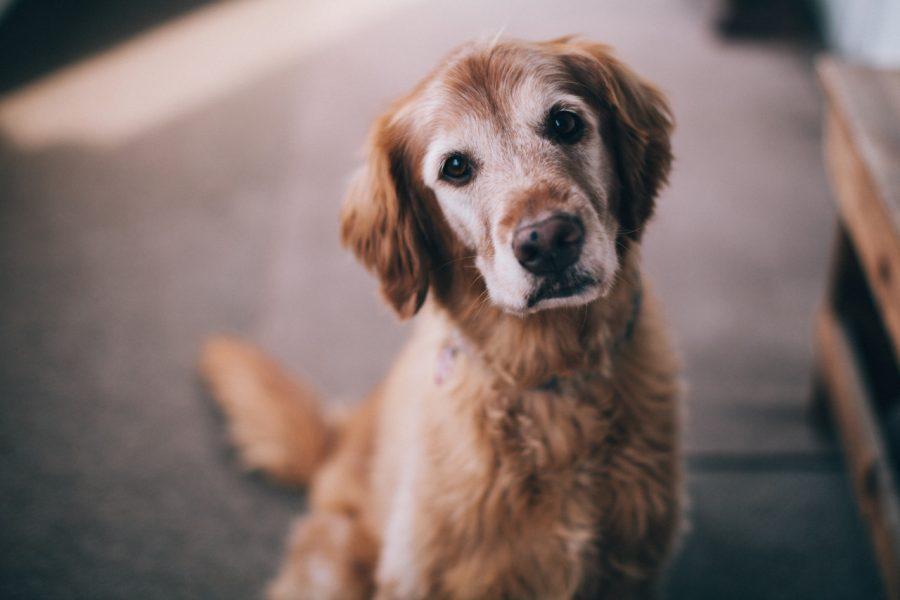 dog-Hemangiosarcoma-cannabidiol