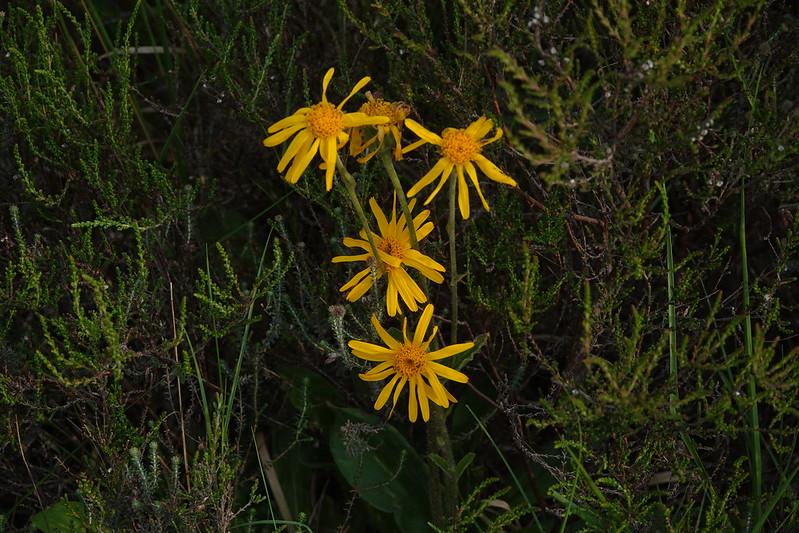 arnica-montana-herbal-medicine