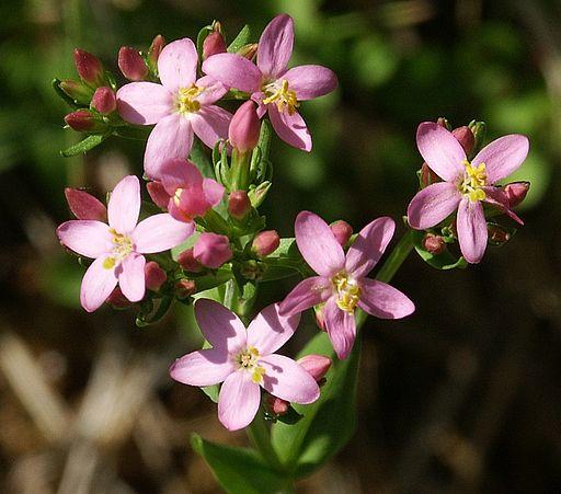 bach-flower-centaury