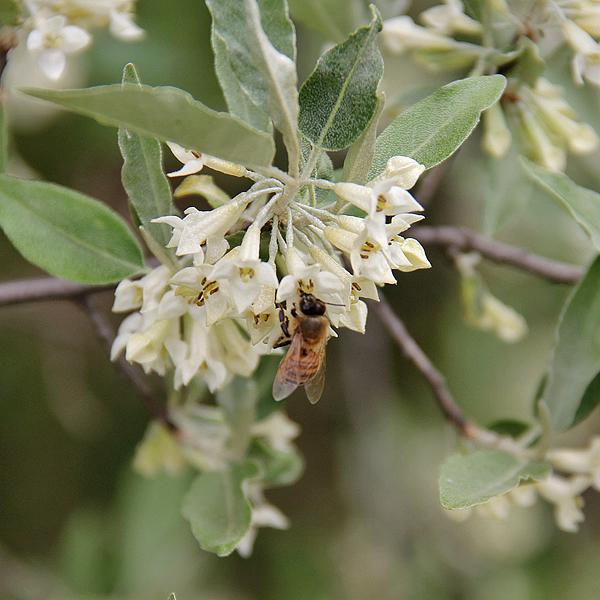 bach-flower-olive