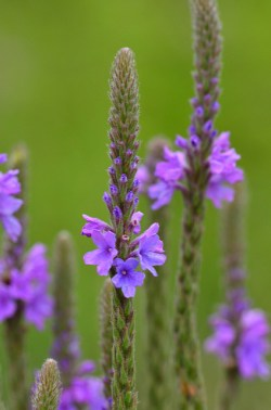 How Bach Flower Vervain supports natural healing in horses