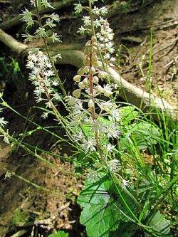 Why Black Cohosh  is in the Herbal Treatment for Painful Periods with Heavy Bleeding