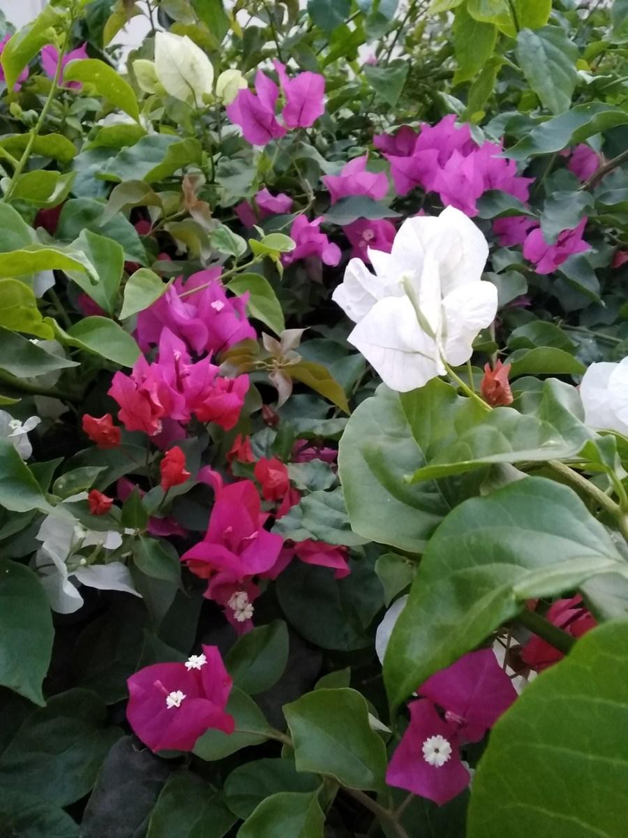 bougainvillea-herbal-medicine