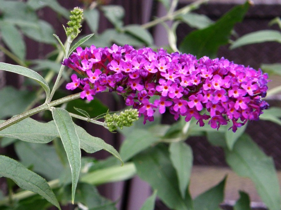 buddleja-butterfly-bush-herbal-medicine.jpg