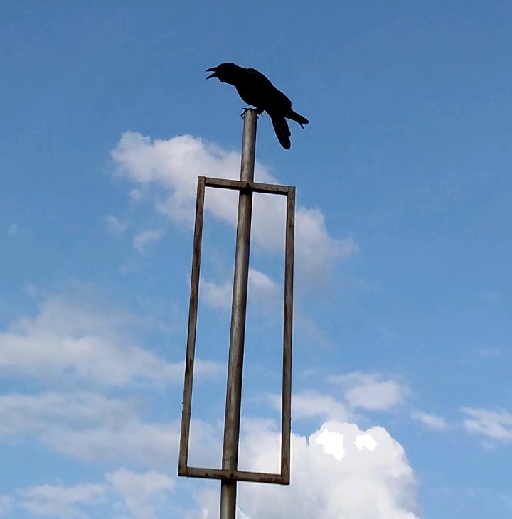 crow-predator