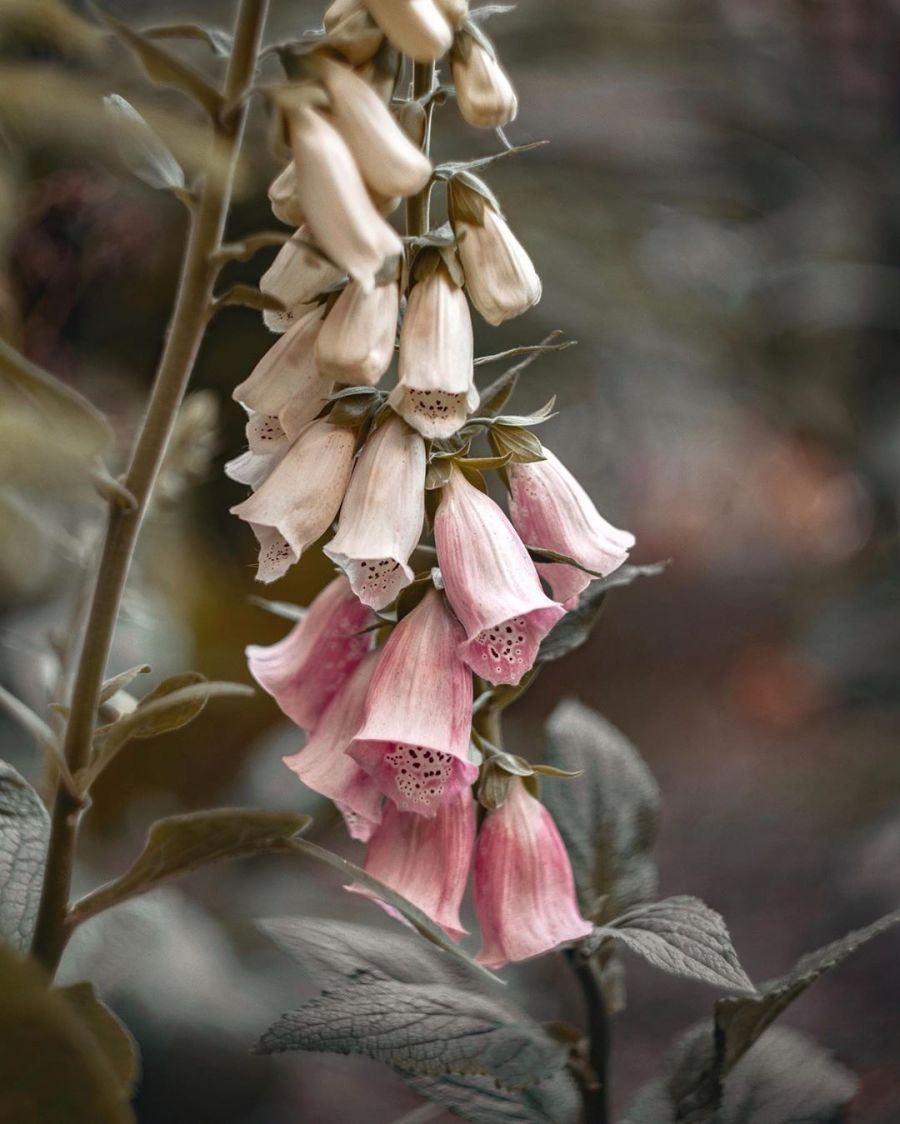 digitalis-foxglove-herbal-medicine