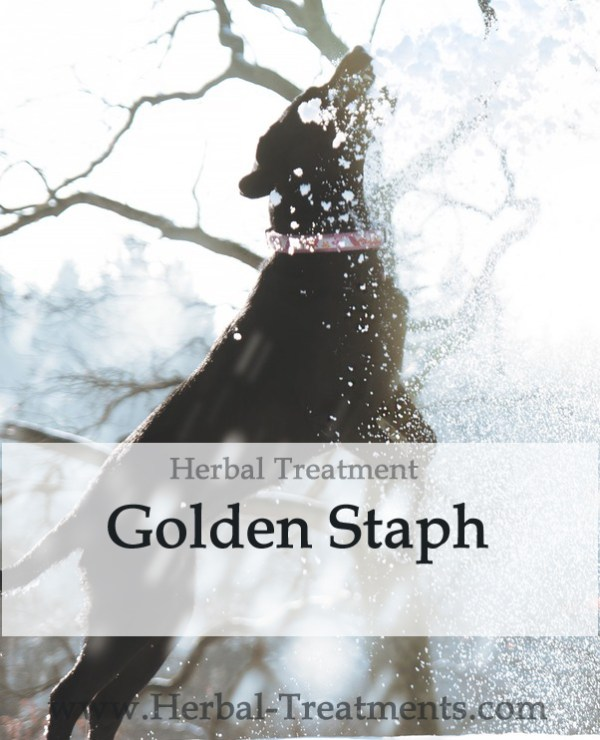 Golden Staph Herbal Tonic for Dogs