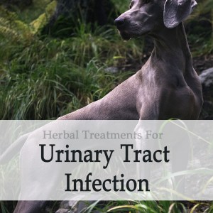 Herbal Treatment for Urinary Tract Infection in Dogs