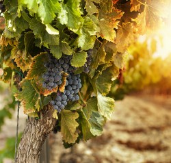 Grape seed extract for cancer recovery and prevention.