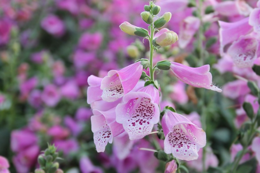 herbal-medicine-foxglove-digitalis