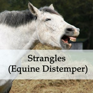 Herbal Treatment for Strangles (Equine Distemper) in Horses
