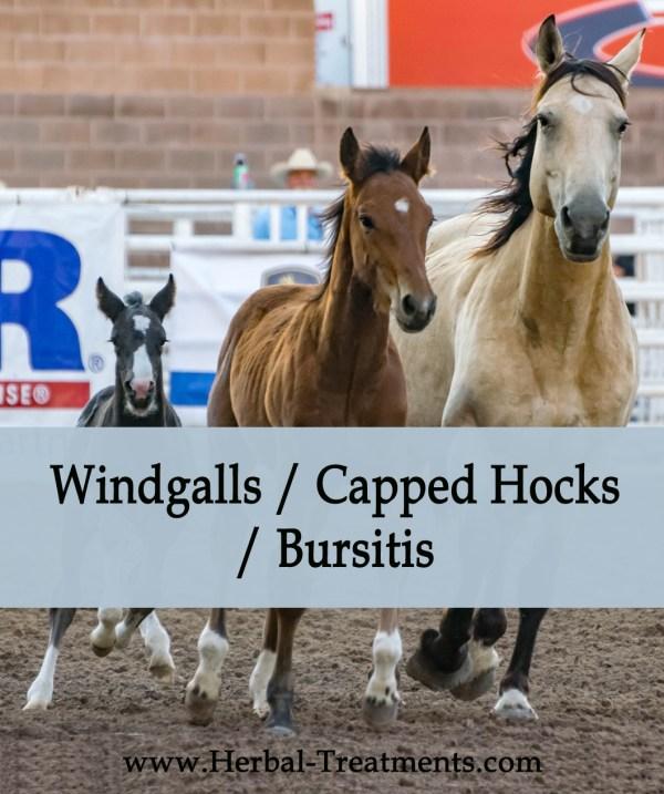 Herbal Treatment for Windgalls / Capped hocks / Bursitis in Horses