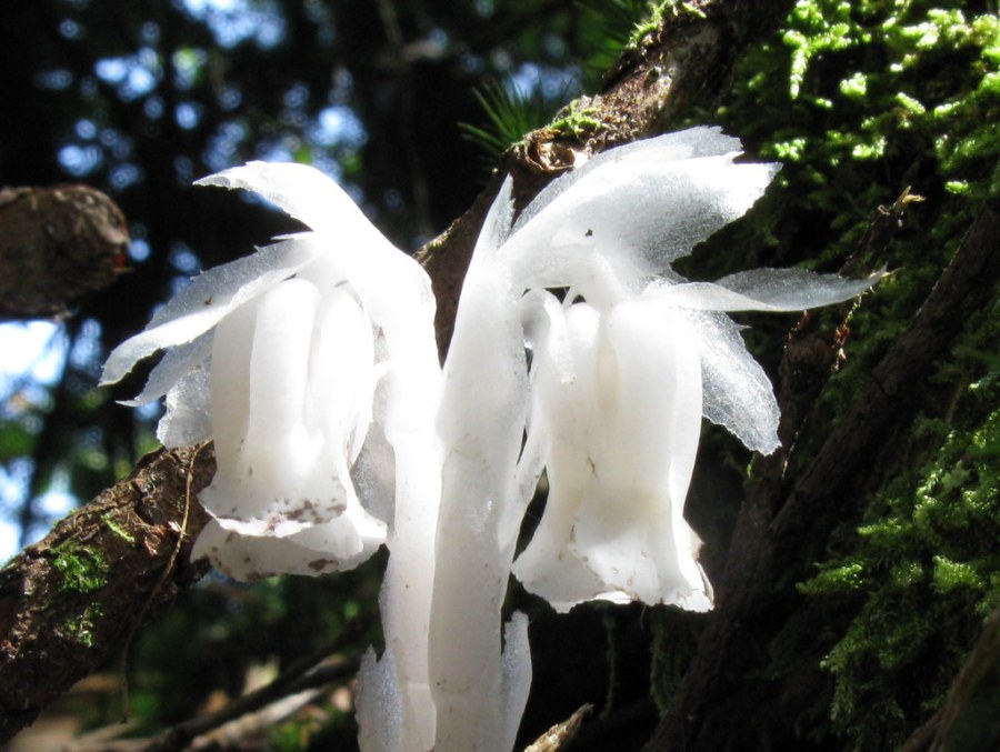 Monotropa uniflora, Indian-pipe