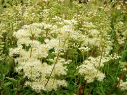 Why Meadowsweet is in the Herbal Anti-Inflammatory and Pain Killer Tonic