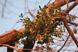 Why Mistletoe is in the Herbal Anti-Inflammatory and Pain Killer Ointment