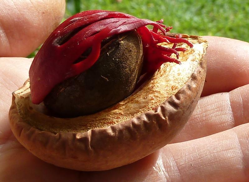 nutmeg-mace-herbal-medicine