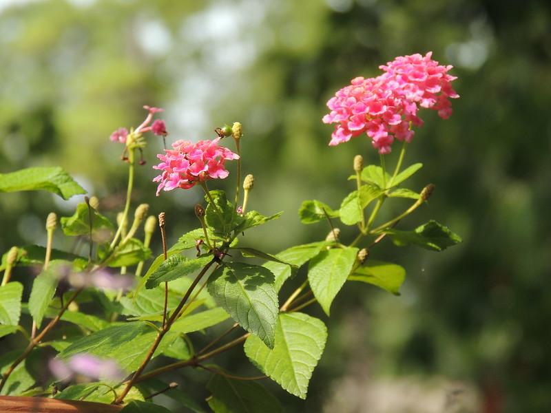 pink-lantana-herbal-medicine