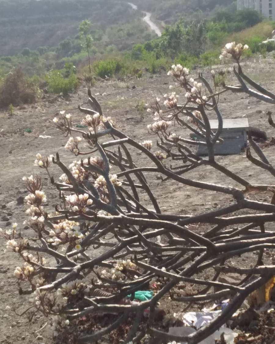 plumeria-frangipani-flowers