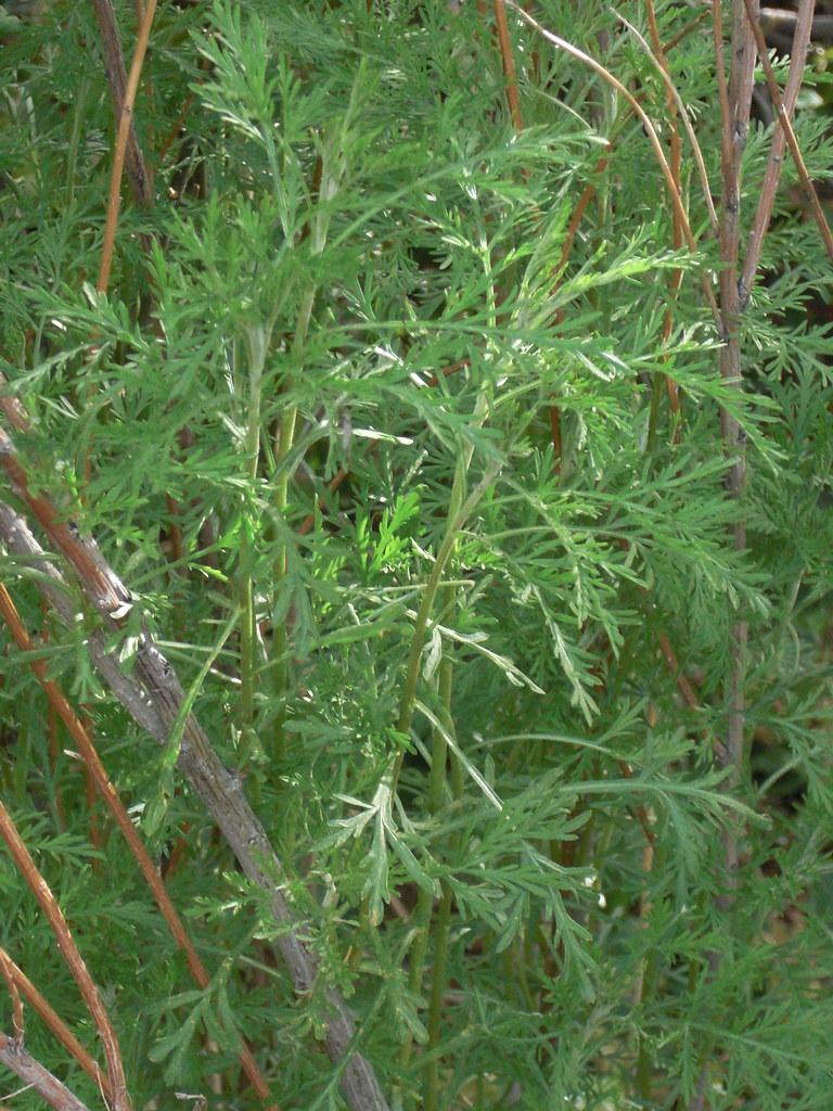 southernwood-artimisia-abrotanum-herbal-medicine.jpg