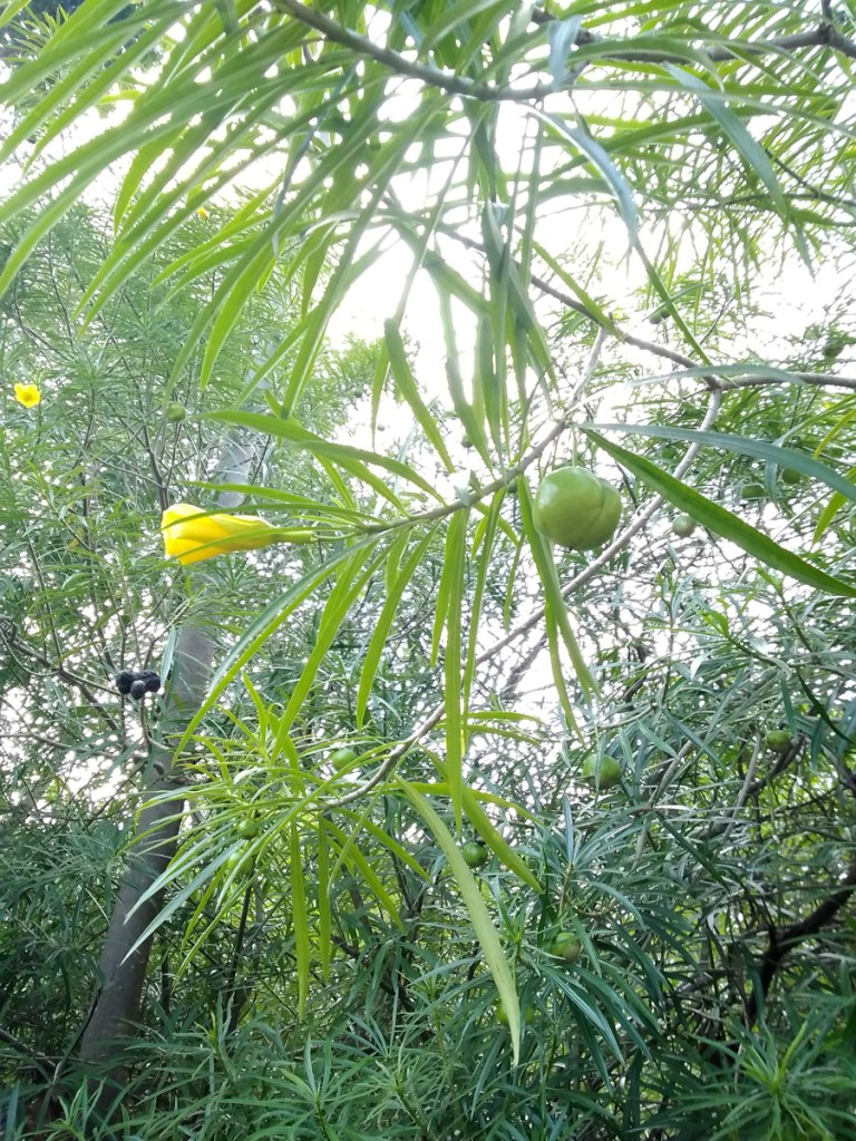 Thevetia Peruviana Herbal Medicine