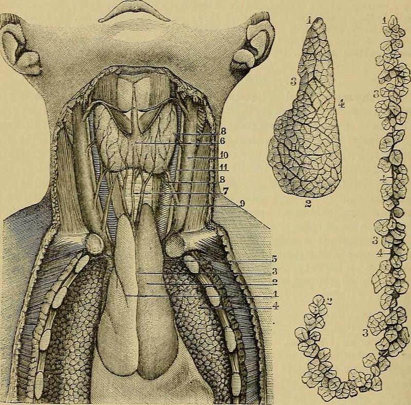 thymus-gland-herbal-medicine