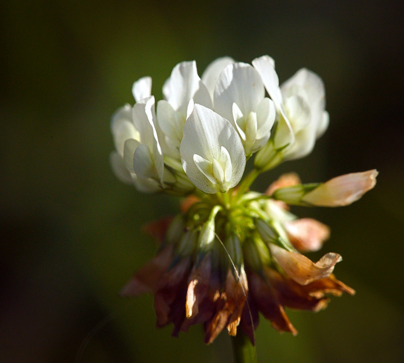 white-clover-head-trifolium-repens-herbal-medicine