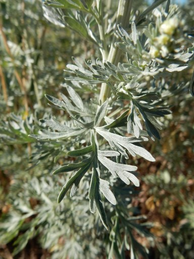 wormwood-herbal-medicine-2