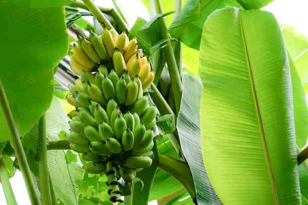 bananas growing in the jungle