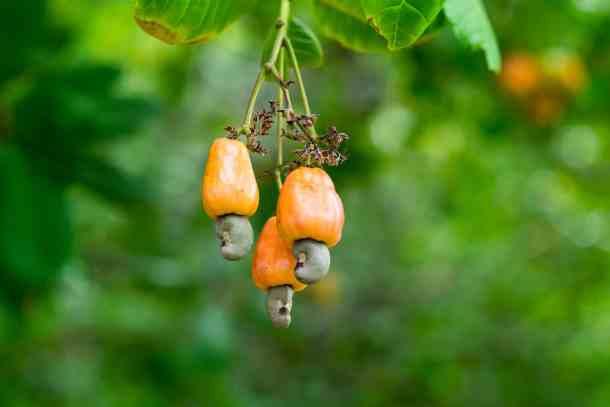 cashew apples growing
