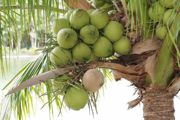 fresh coconuts on the tree