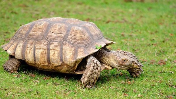 animals_hero_african_spurred_tortoise.jpg