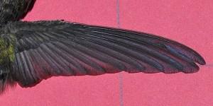 Anna's Hummingbird ANHU – HollandWest