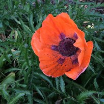 Orange poppies have such a short season here...loving their beauty, despite their weed-like appearance.