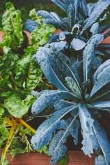 Hail-studded Swiss chard and kale.