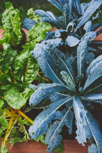 Hail-studded Swiss chard and kale.