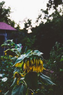 Droopy, spent sunflowers, ready for the birds and squirrels.