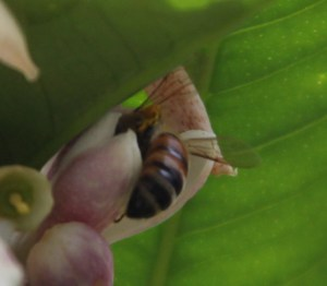 The bee pollinating the lemon tree blossoms