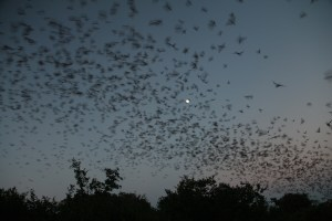 The majority of these bats migrate between Bracken Cave and Mexico.  They reside here from about April til November