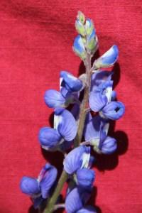 A bluebonnet - up close.