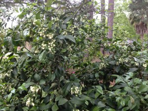 The finicky grapefruit - seems to only bloom every other year since hurricane Ike.