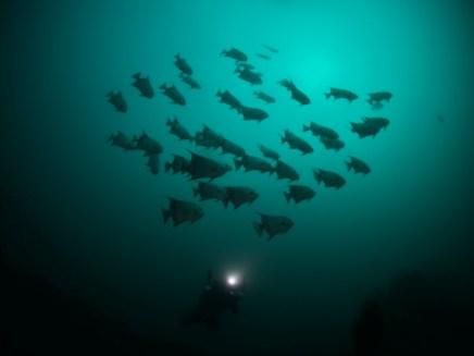 Schooling Spadefish, Morehead City N.C.
