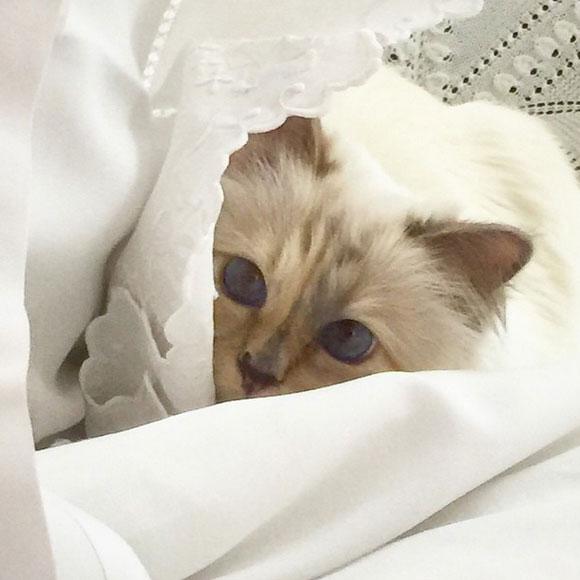 Choupette. le chat de Karl Lagerfeld. est multimillionnaire   Hollywoodpq.com